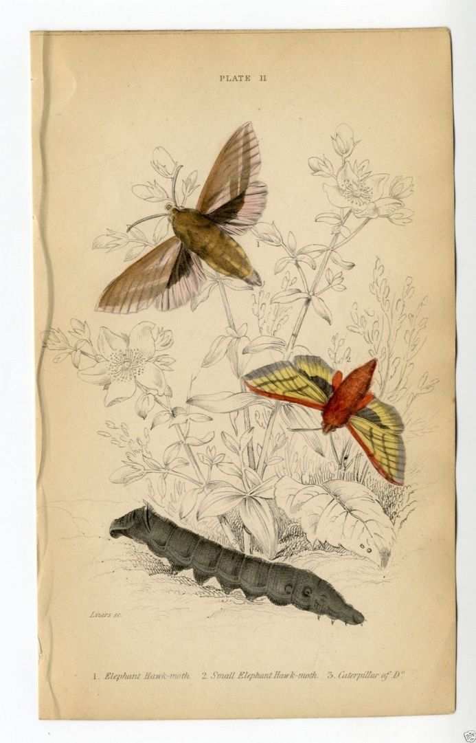 1836 MOTHS Antique Print ELEPHANT HAWK & CATERPILLAR by William Lizars JARDINES